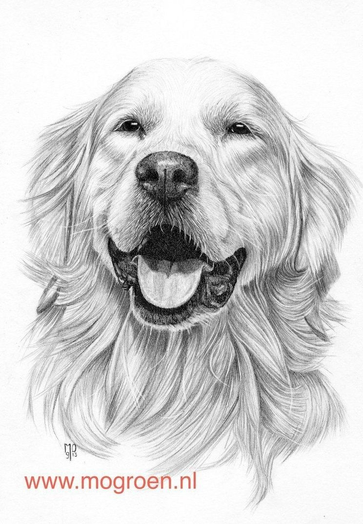 Golden Retriever Coloring Page Coloring Pages Draw A Golden Retriever Drawing Mo62 On Deviantart Albanysinsanity Com Golden Retriever Drawing Dog Paintings Dog Sketch [ 1073 x 744 Pixel ]