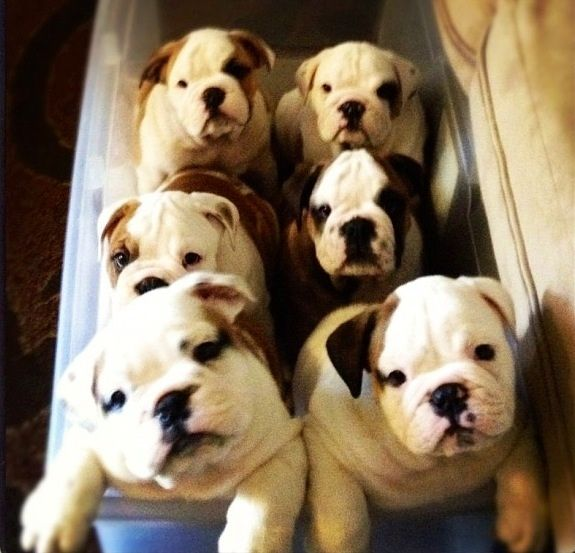 My 6pak Of Bulldogs Cute Little Animals Cute Animals Bulldog