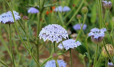 Gardenersworld Com Gardening Advice Blue Lace Plants