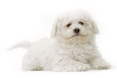 Bichon puppies are the best!