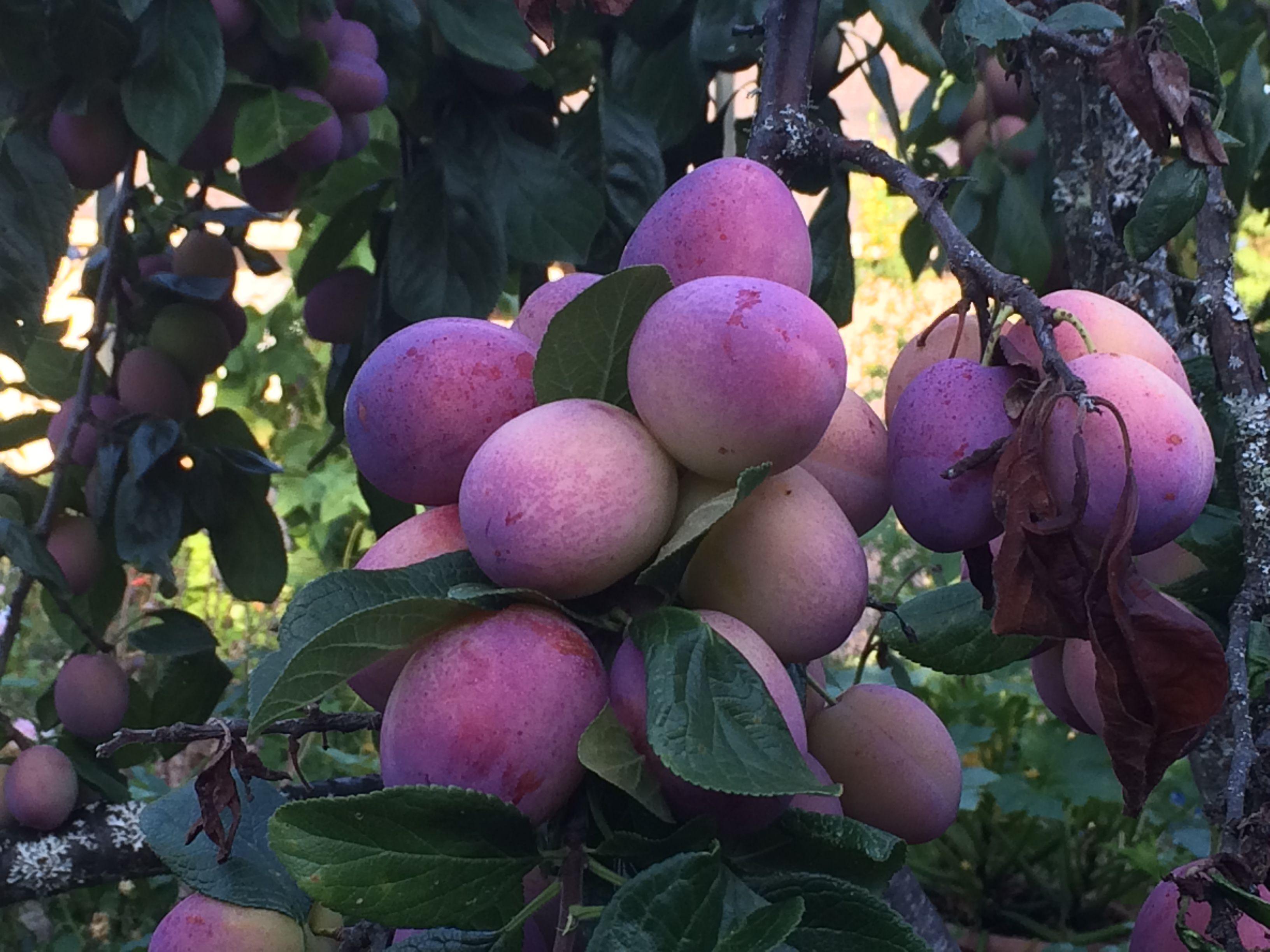 Victoria Plum Fruit Tree Blue House Gardens Llc Plum Fruit Fruit Trees Fruit