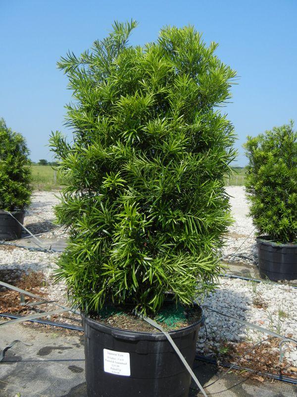 Japanese Yew 30 Gallon Podocarpus Landscaping Plants