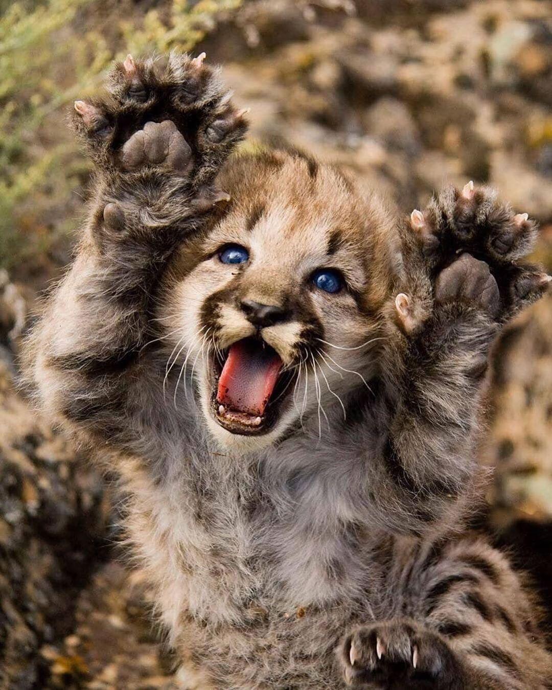 RAWRRR 🐾 Did I scare you? 😱 Big cat populations are