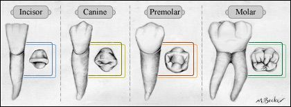 We Have Different Types Of Teeth To Handle Different Types Of Food