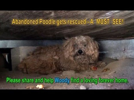 Abandoned Calif.poodle rescued from living under porch a year after owner died