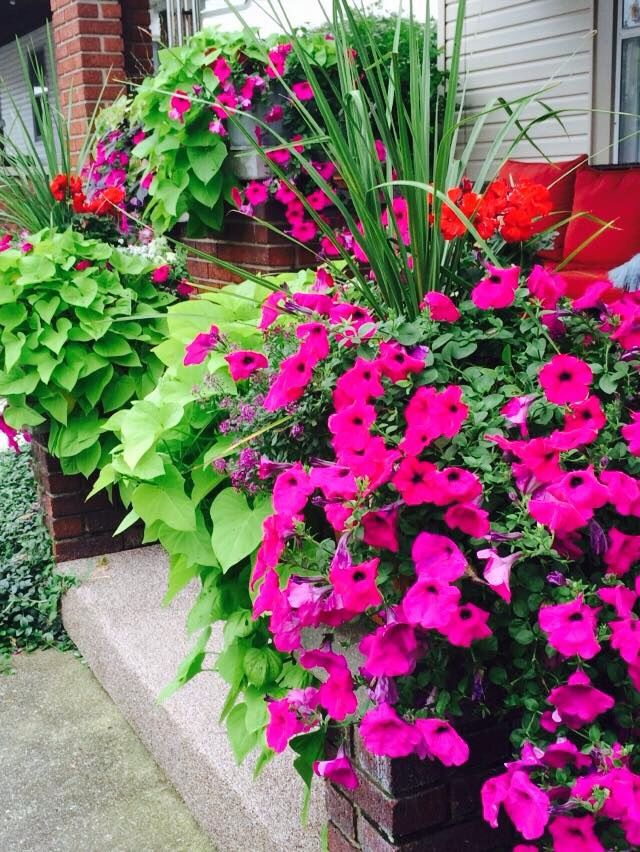Front porch flower pots wave petunia sweet potato vine spike geranium jamie rae 39 s potted - Growing petunias pots balconies porches ...