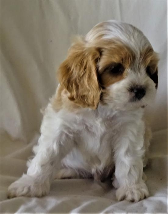 Potty Trained Cavoodle Puppies For Sale In 2020 Puppies For Sale