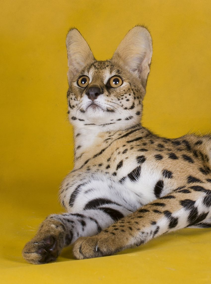 Savannah Cat Information A Complete Guide to a Hybrid