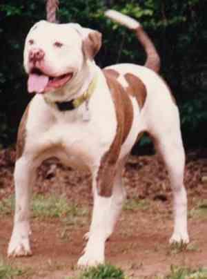American Bulldog Johnson S Collette 14 Pedigreedatabase Com