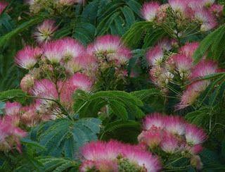 Mimosa Trees Mimosa Tree Flowering Vines Trees To Plant