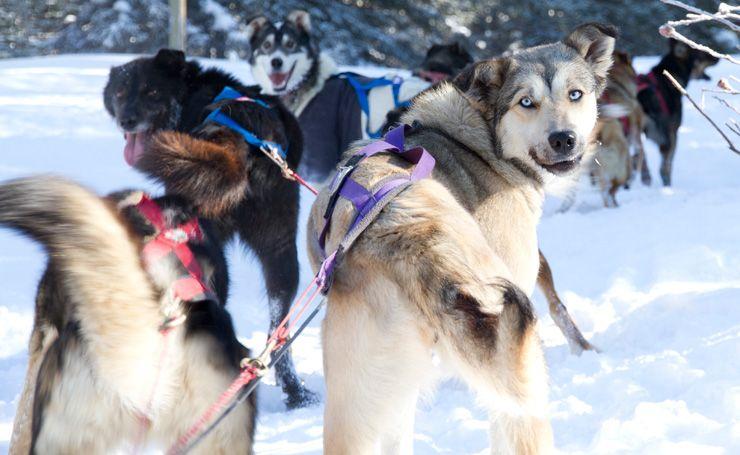Kingmik Dogsled Tours dog sledding Lake Louise Banff