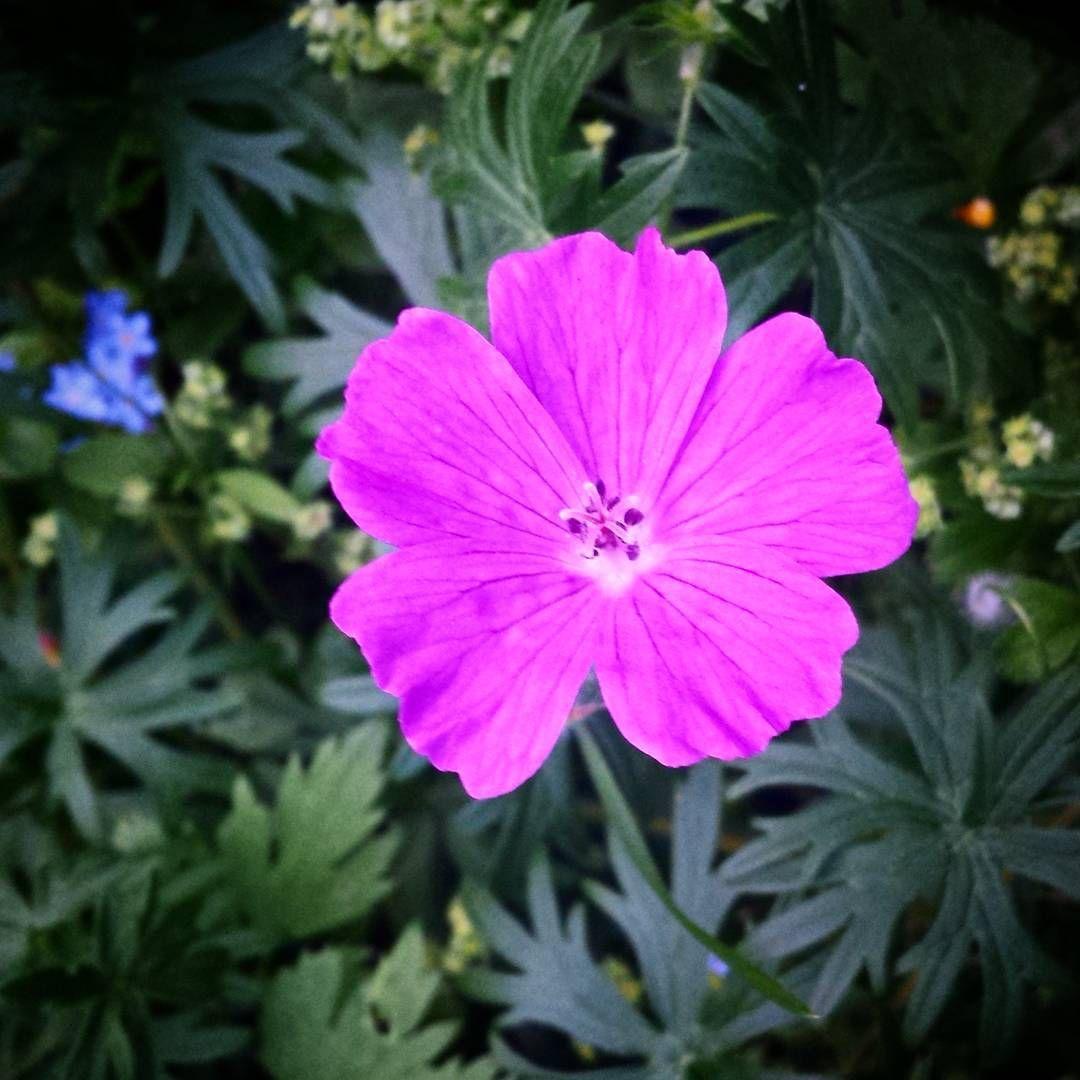 #verikurjenpolvi #kukka #flower #blomma  #puutarha #garden