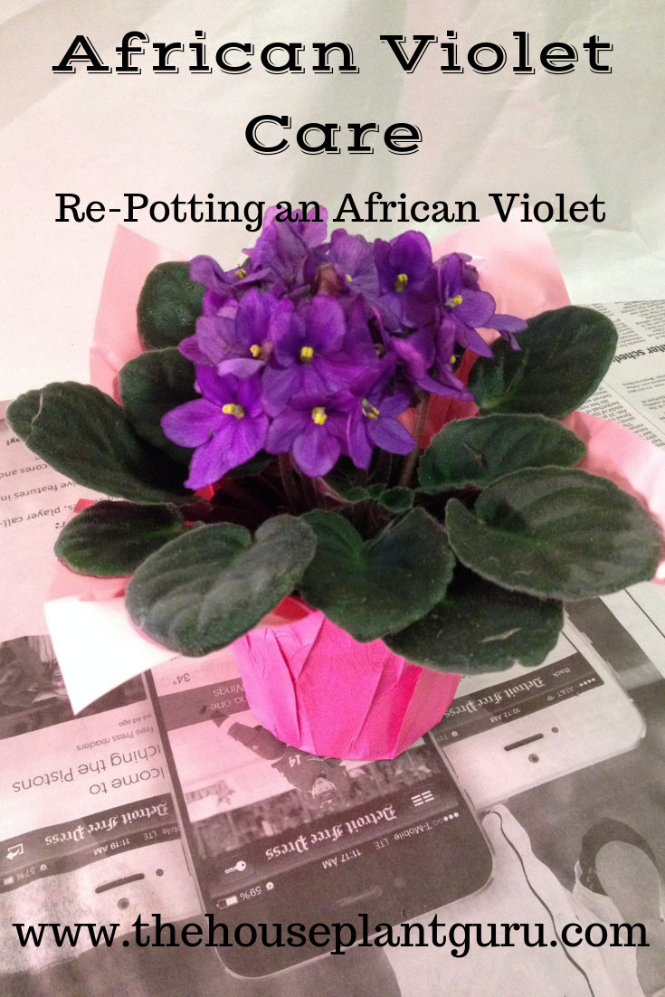 African Violet Care | House plants, African, Plants on house plants with waxy red blooms, house plants with dark red leaves, house plants and their names, house with red flowers, house plants with long green leaves, house plants with small leaves, florida plants with red leaves, poisonous plants with purple leaves, tomato plants with purple leaves, house plants with shiny leaves, house plant purple heart, purple foliage plants with leaves, house plants with bronze leaves, wandering jew with fuzzy leaves, house plants with light green leaves, house plants with colorful leaves, house plant rubber plant, olive tree green leaves, purple house plant fuzzy leaves, perennial plants with purple leaves,