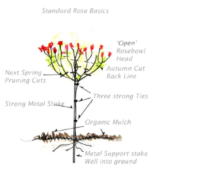 Just Curious As To What Everyone Has Found To Be The Best Roses To Be Used As Quot Standards Quot I Want To Order A Cou Standard Roses Rose Trees Best Roses
