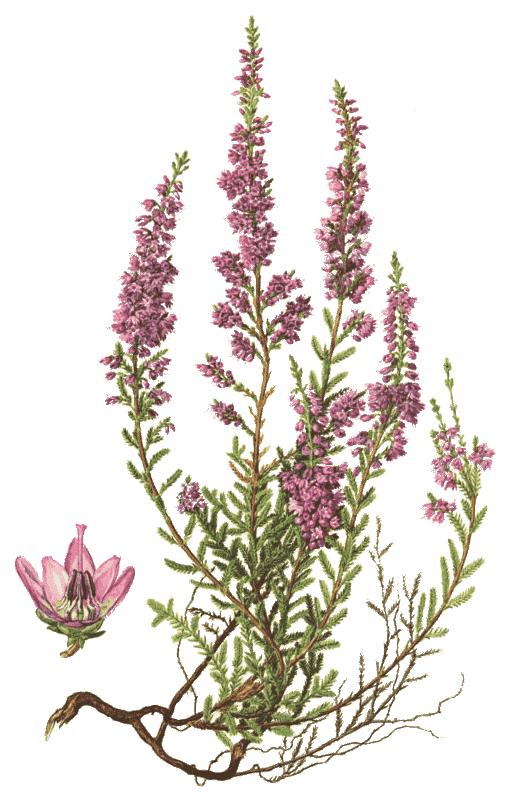 Common Heather Calluna Vulgaris Botany Illustration Botanical Prints Botanical Illustration