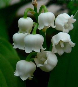 Try And See If You Can Name This Summer Plant The Island Connection Summer Plants Lily Of The Valley Flower Photos Art