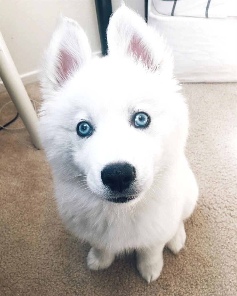 When You Look In Your Wallet After A Big Night Out Funny Animal Puppy With Images Husky Siberian Husky