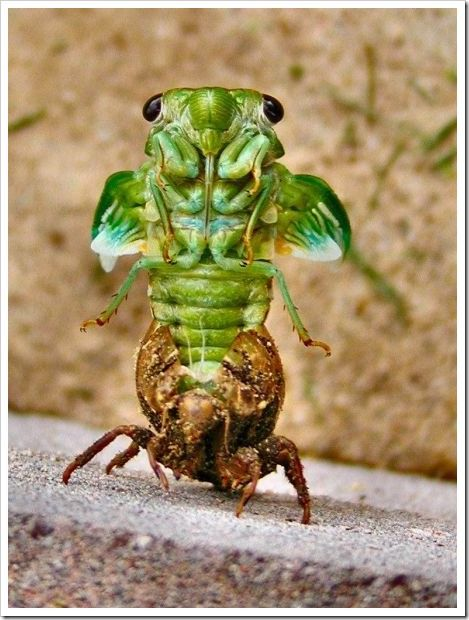 """Cicada """"coming out of its shell"""". The sound of cicadas ..."""