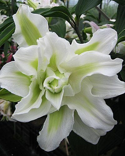 лилия восточная фото