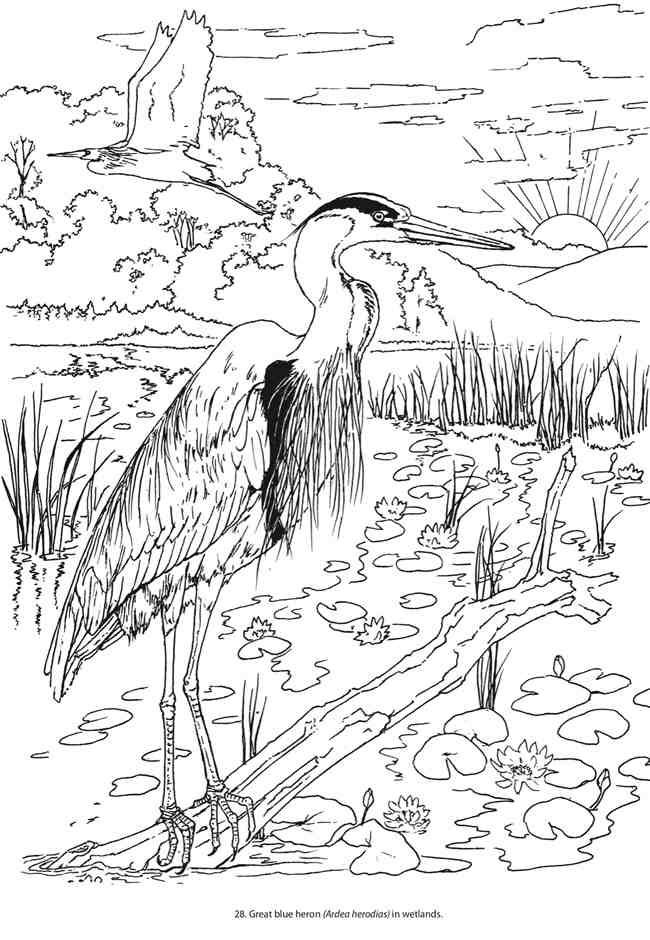 Blue Heron Bird Coloring Pages Animal Coloring Pages Dover