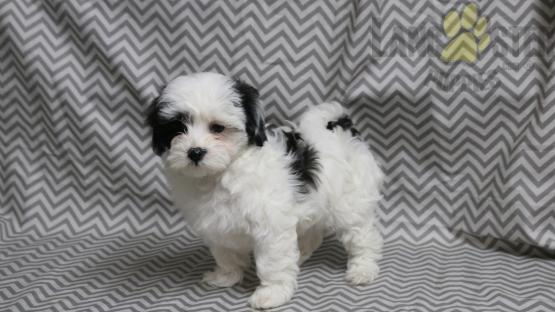 Sierra Maltipoo Puppy For Sale In Navarre Oh Lancaster Puppies Maltipoo Puppy Lancaster Puppies Puppies For Sale