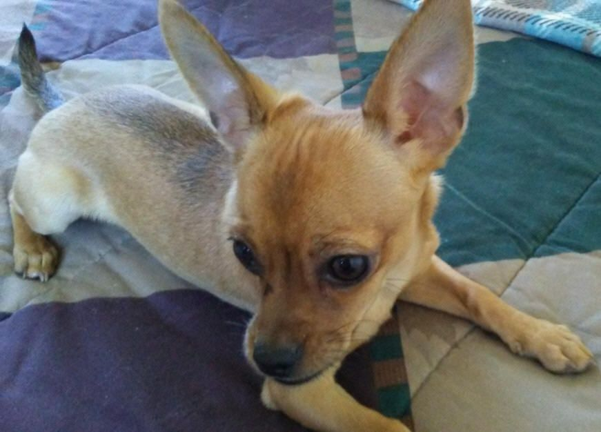 Lost Dog Chihuahua Short Haired Panama City Beach, FL