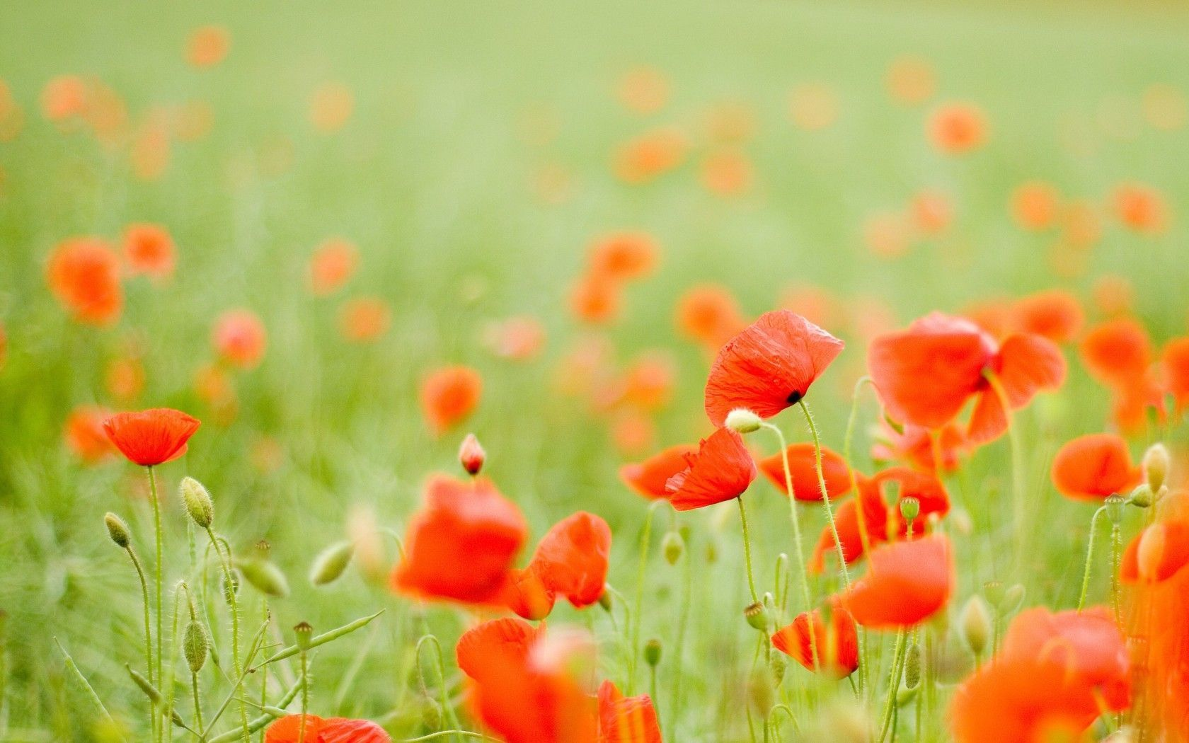 Pix For > Red Poppies Wallpaper