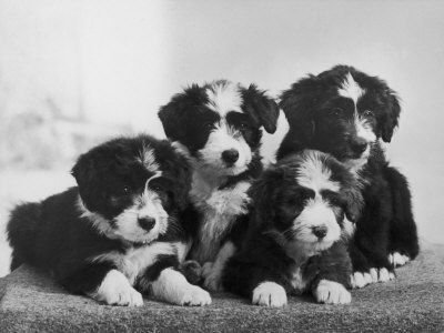 My Cosmic Order To Be A Breeder Of Bearded Collie Pups They