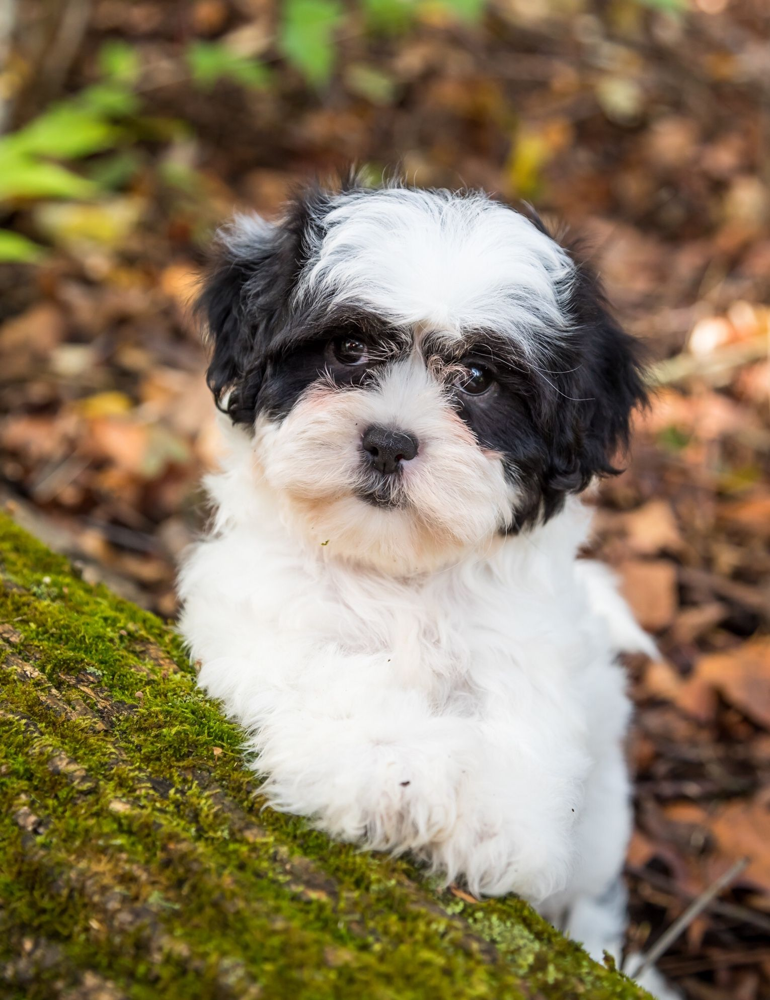 Puppies For Sale Shichon Puppies Dog Breeder Puppies