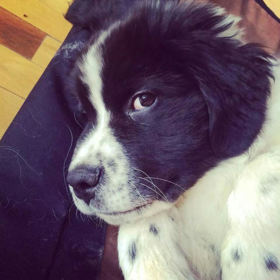 Zorro 10 Wks Old Look At That Angel Face Newfoundland Dog