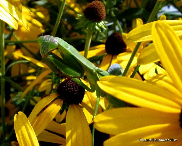 Praying Mantis friend on the false sunflowers.