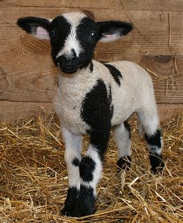 Harlequin Sheep Minature- for Sale | Babydoll sheep ...