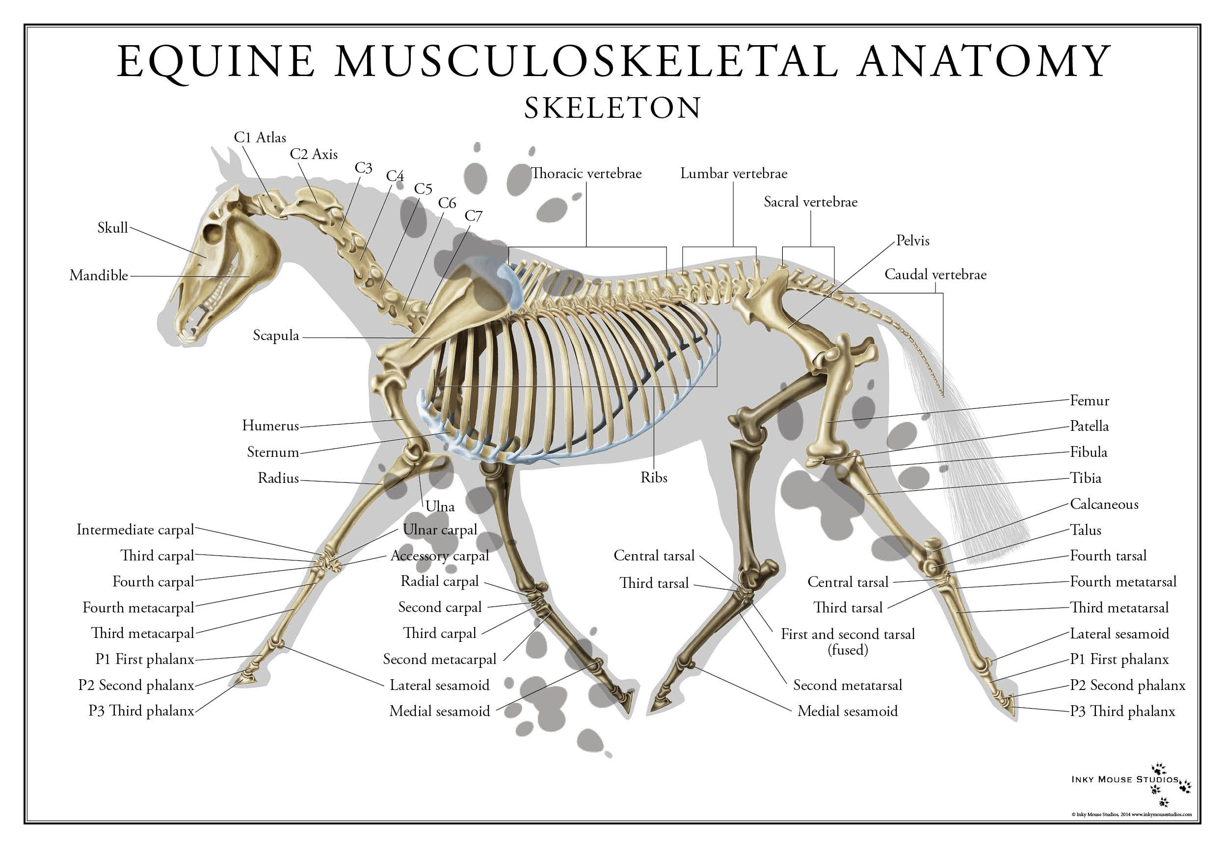 Full color poster of the equine skeletal system. Perfect for a ...