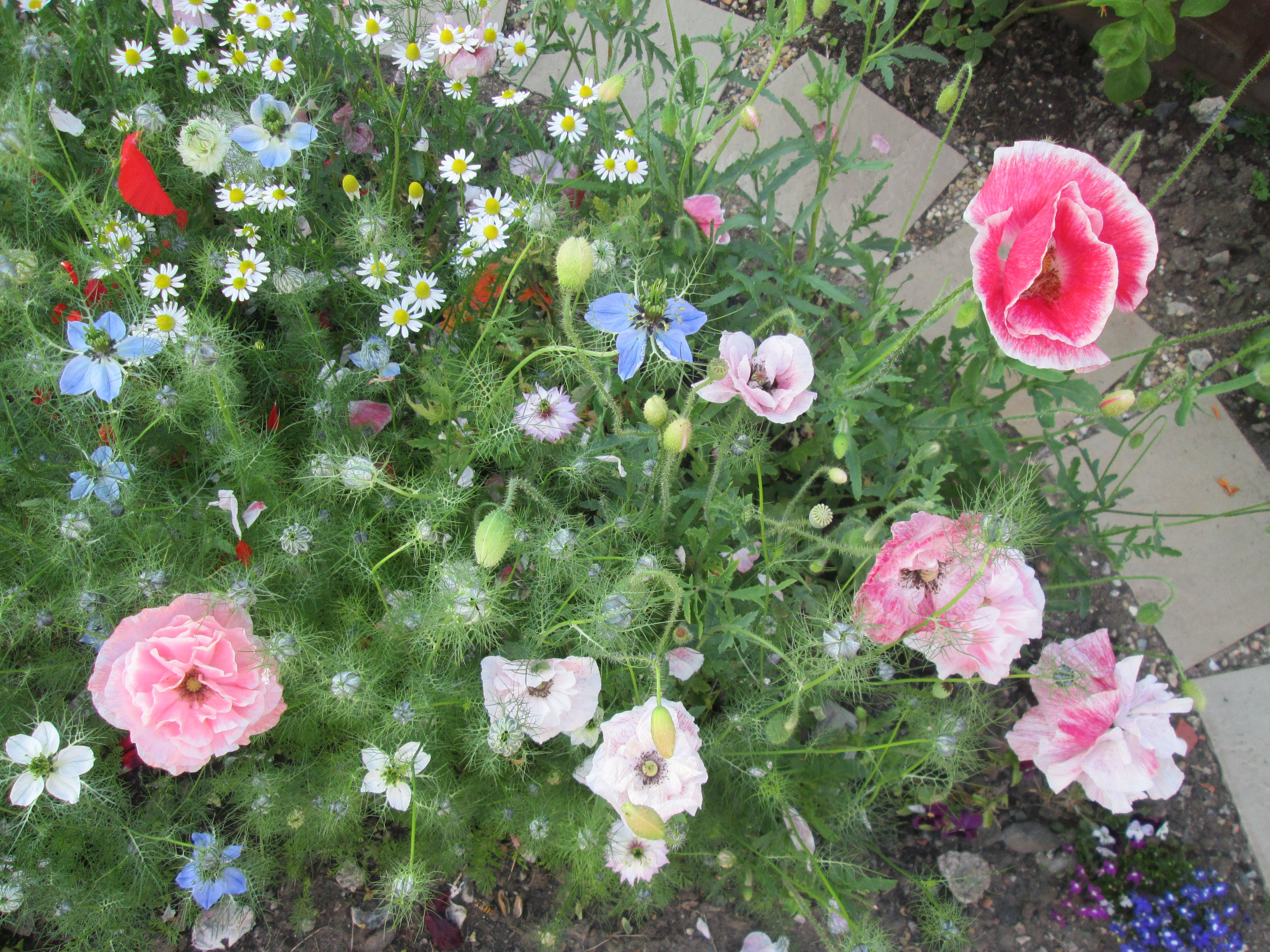 Angel Choir Poppies, Love In A Mist And Volunteer Daisy Plant