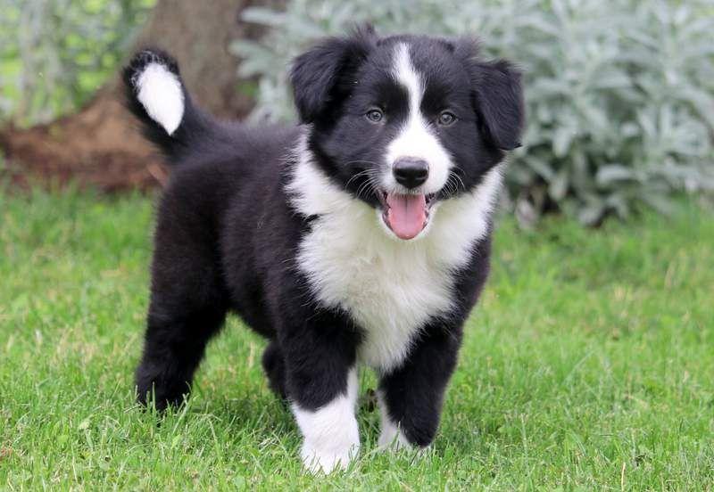 Freddy Border Collie Puppy For Sale Keystone Puppies Collie Puppies Collie Puppies For Sale Border Collie Puppies