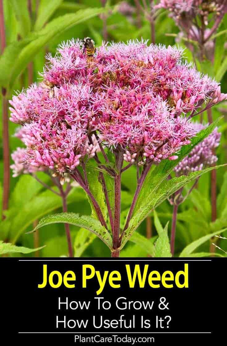Joe Pye Weed a beautiful perennial plant with many uses Discover how to grow care for and use it for medicinal and other purposes LEARN MORE