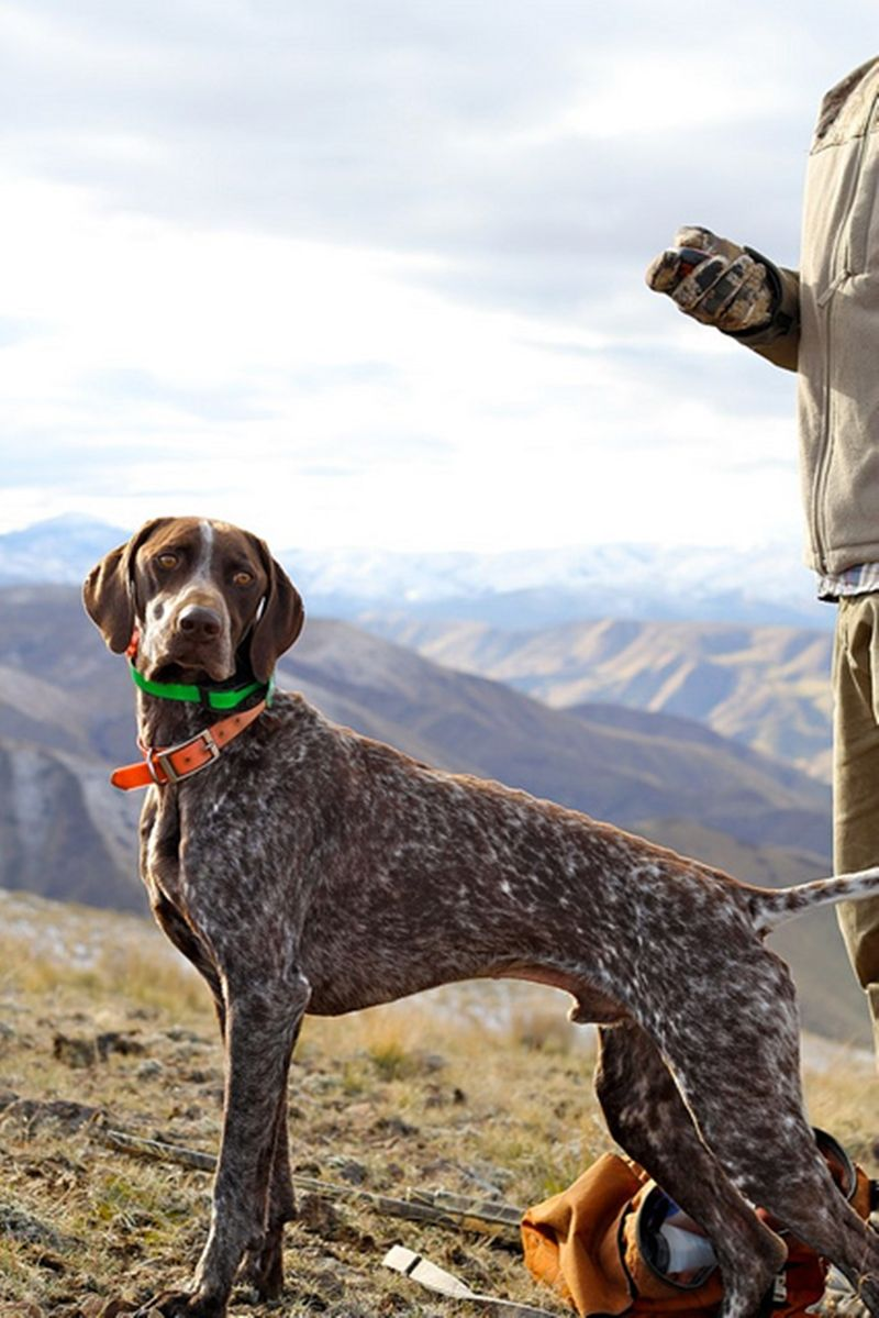 Pin By Hazel Peterson On Cats And Dogs German Shorthaired Pointer German Shorthaired Pointer Dog Dogs