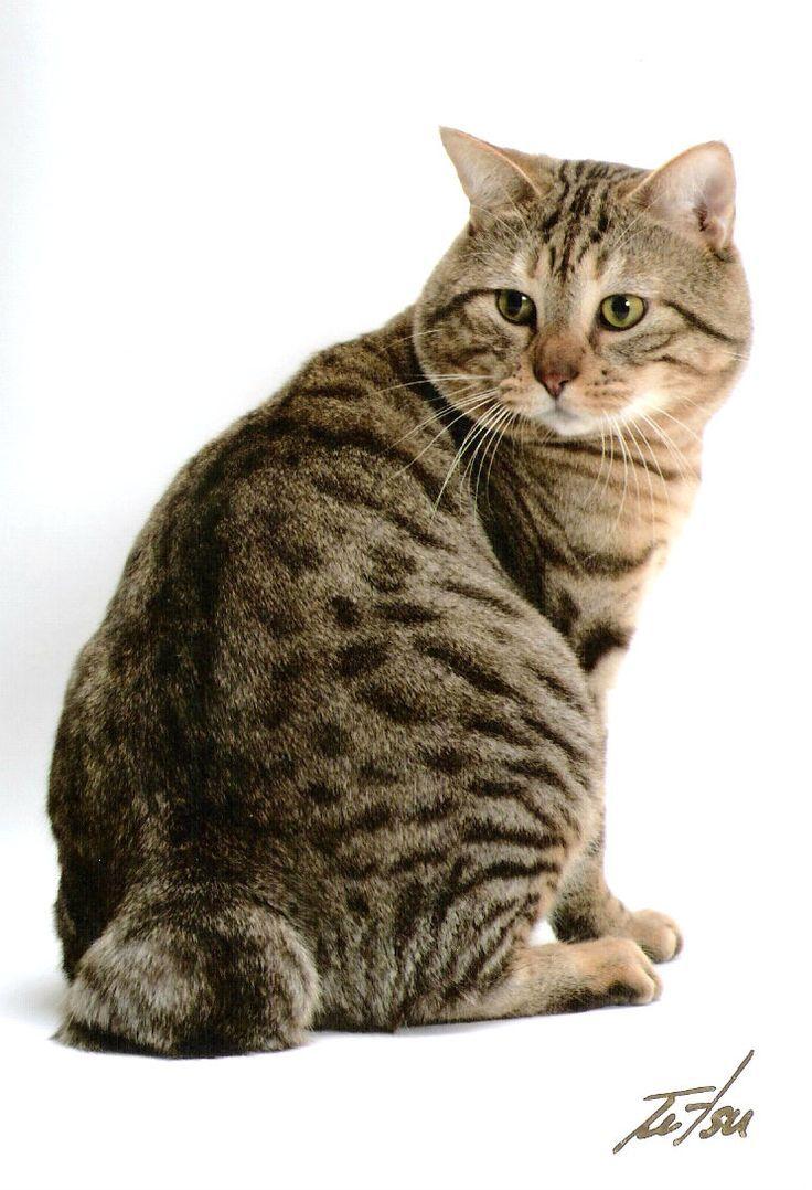 Bengal Cat Breeds American Bobtail Cat Abyssinian Cats Bobtail Cat