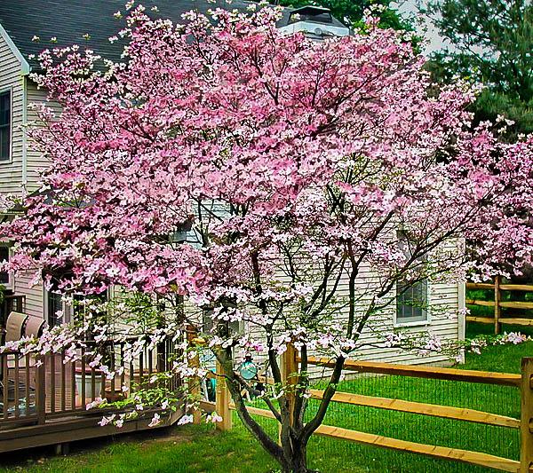 Stellar Pink Dogwood Tree Dogwood Trees Pink Dogwood Pink