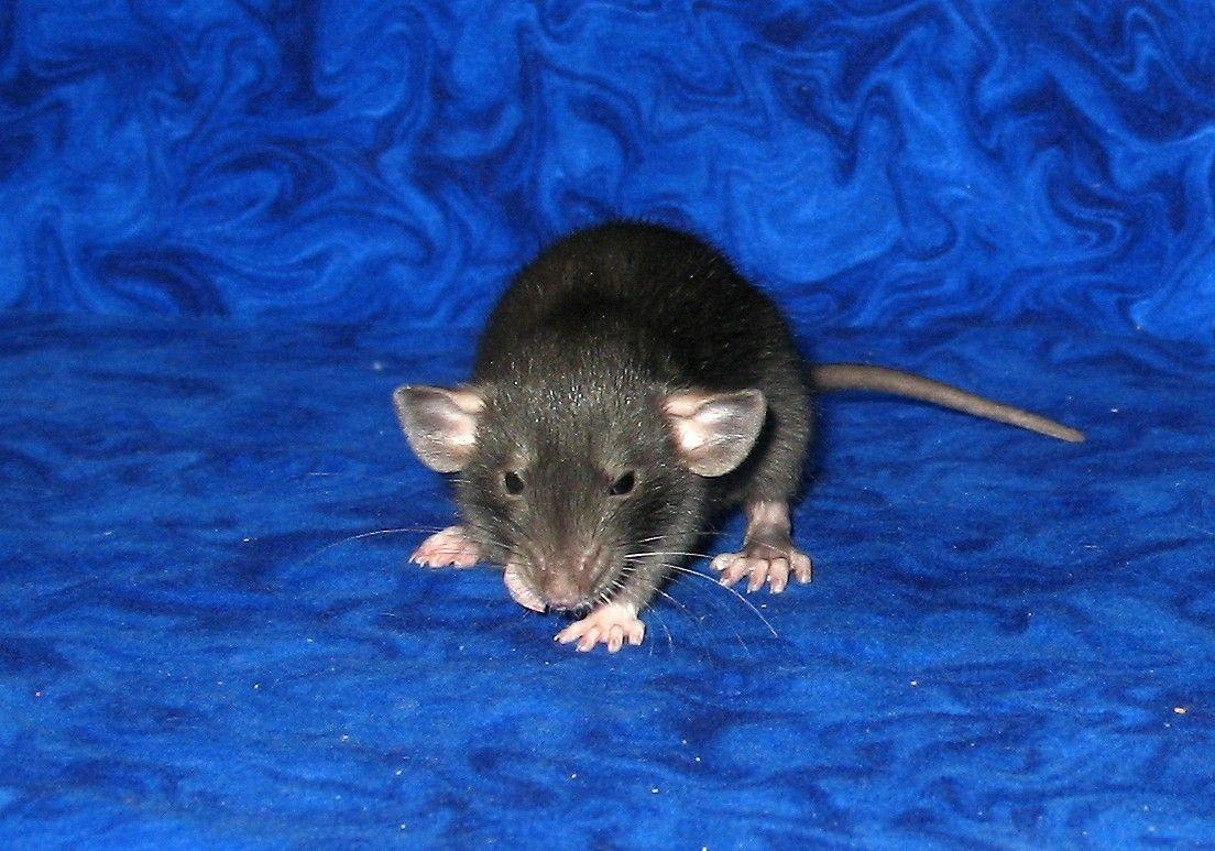 Pin on GOTTA LOVE DUMBO RATS.