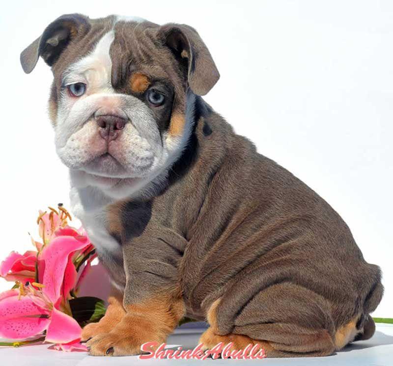 Big Eyed Lilac English Bulldog With Images English Bulldog