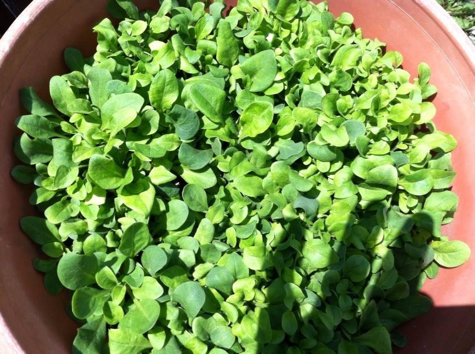 Petunia Seedlings With Images Seedlings Herbs Horticulture
