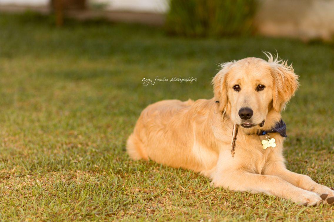6 meses ! Misho Golden Retriever Golden retriever