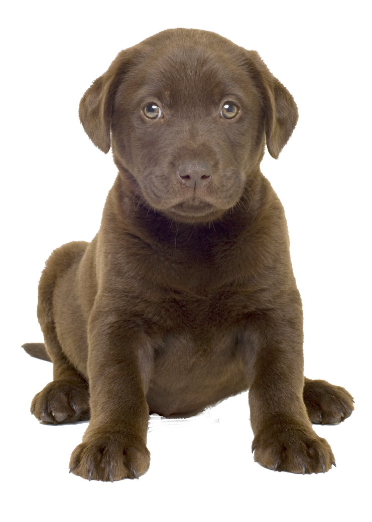 Cute Dog Whelp Png Image Labrador Retriever Dog Breeds Retriever Puppy
