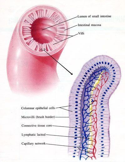 Microvilli In The Digestive System That Aid In Absorption Of