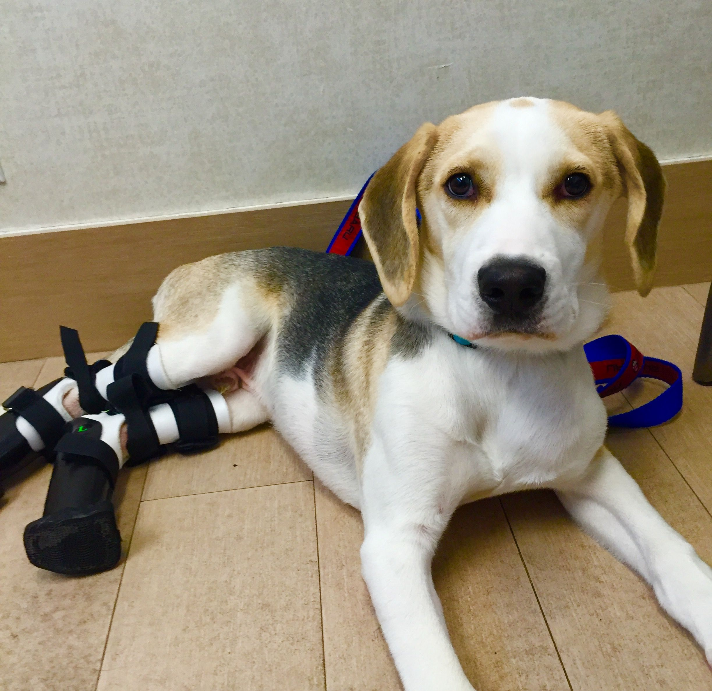 Meet Moon He Is A Beagle Mix Puppy Who Is Up For Adoption At