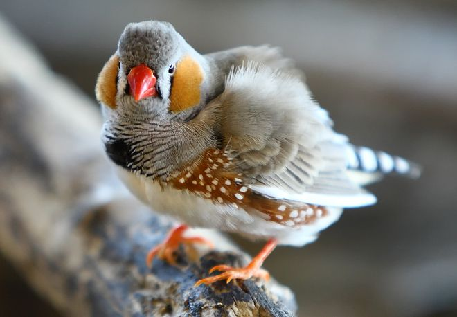 Http Www Wired Com Images Blogs Wiredscience 2010 11 Zebra Finch