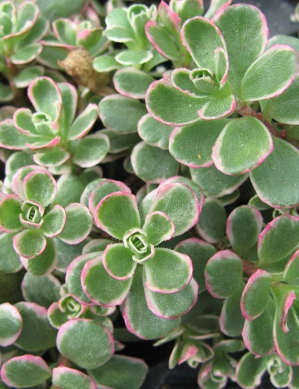 Sedum Spurium Tricolor Zone 3 8 Flowers Pink Blooms 2 4 Weeks Starting July Foliage Green White Pink Succulent Sedum North Facing Garden Succulents