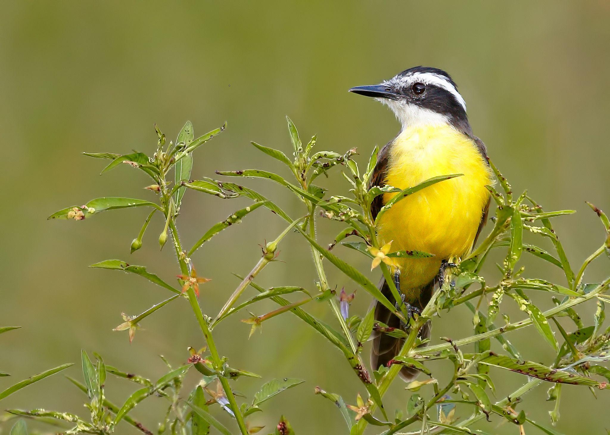 https://flic.kr/p/r34wih | lesser kiskadee | lesser kiskadee (Pitangus lictor), oxbow lakes, Madre de Dios, Peru 2014