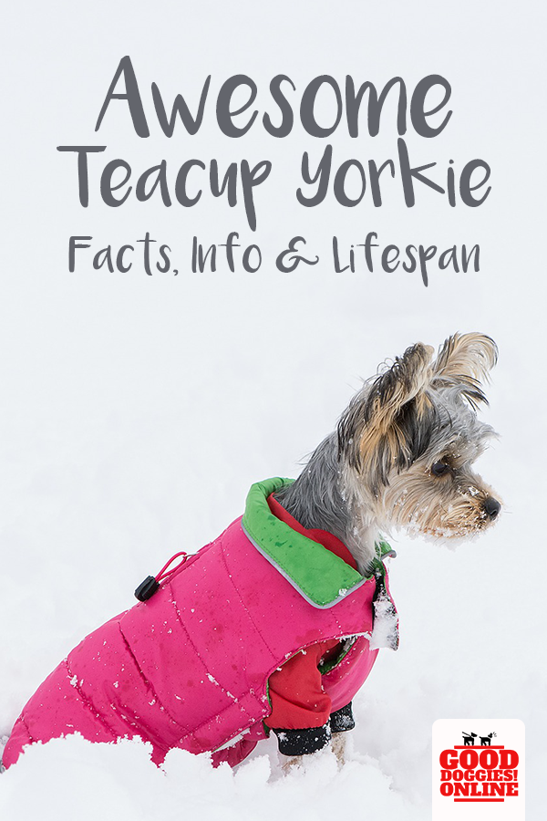 Awesome Teacup Yorkie Facts Info Lifespan Good Dog Info